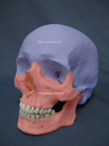 Caucasian_Human_Skull-Coloured